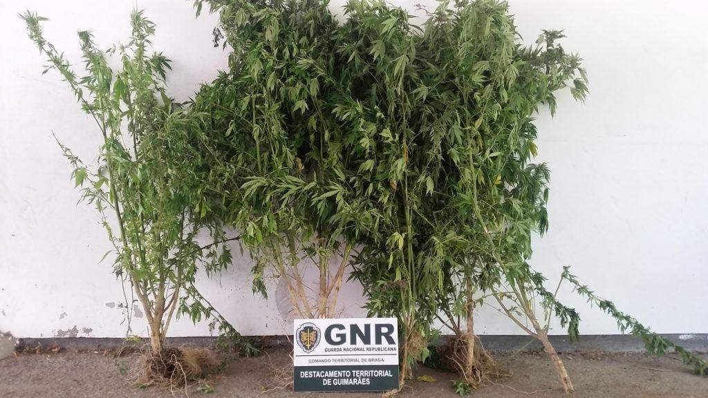 CRIME – GNR descobre plantação de cannabis enquanto combate incêndio