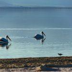 pelicans, salton sea, california