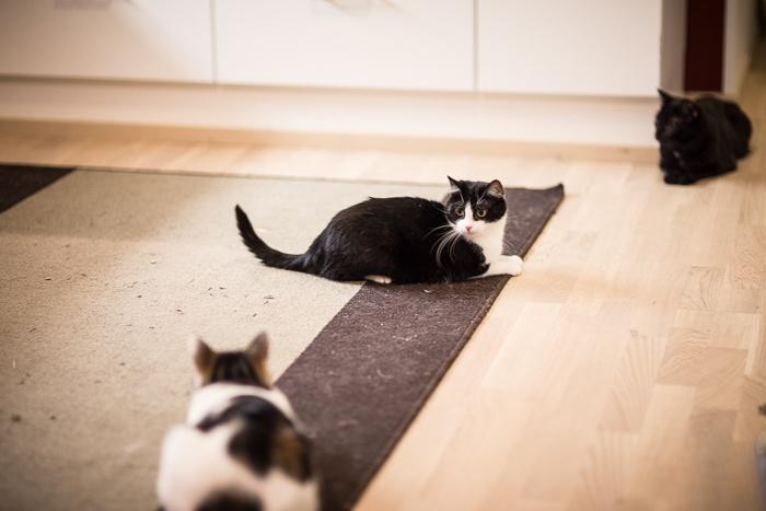 Montako kissaa on hyvä määrä?