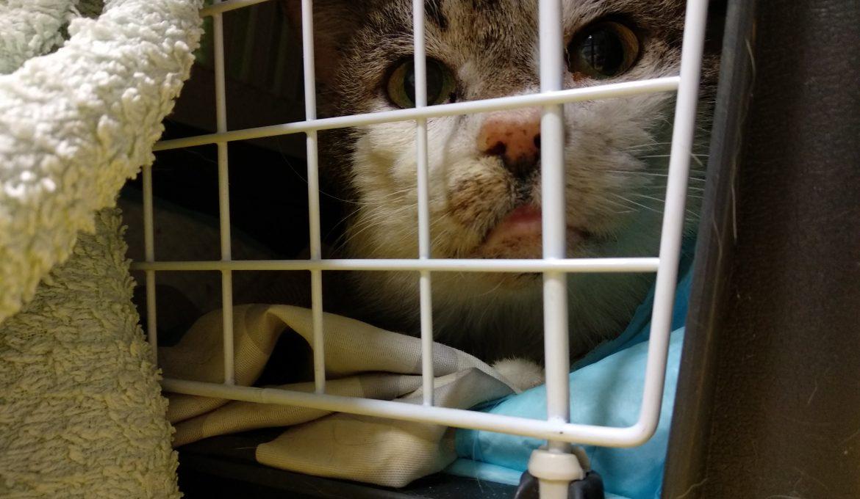 Kissan hampaiden hoito on osa kissan perusterveydenhuoltoa