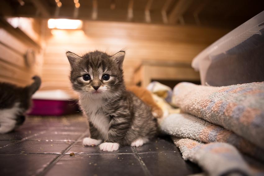 Kyllä, kissojakin pentutehtaillaan