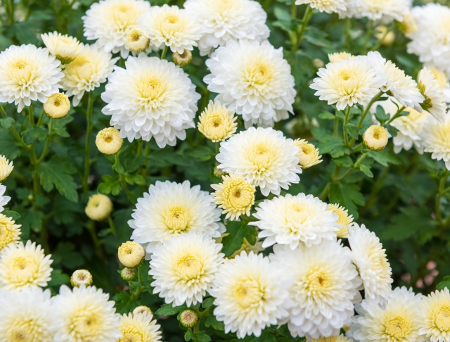 咲き誇る小菊