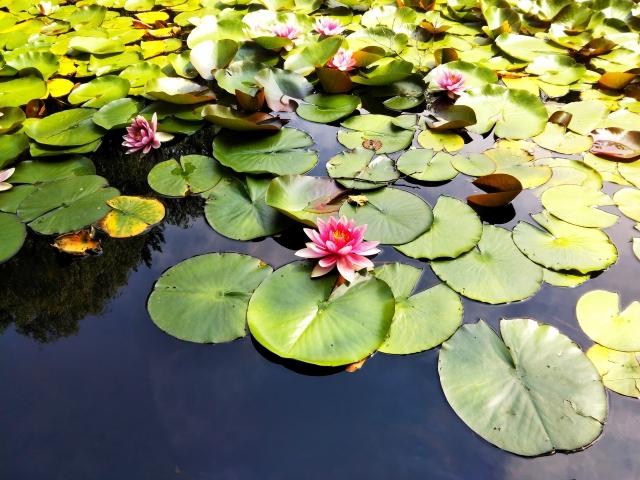 池に浮かぶ蓮の花