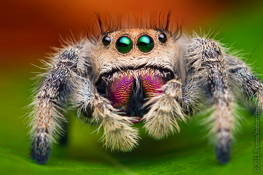 06620962 what do baby spiders eat when they hatch