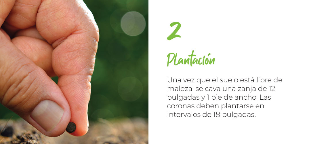 Plantación Una vez que el suelo está libre de maleza, se cava una zanja de 12 pulgadas y 1 pie de ancho. Las coronas deben plantarse en intervalos de 18 pulgadas.