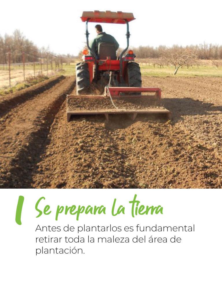 Se prepara la tierra Antes de plantarlos es fundamental retirar toda la maleza del área de plantación.