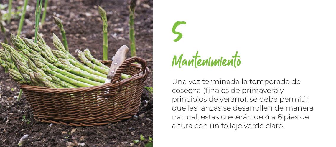 Mantenimiento Una vez terminada la temporada de cosecha (finales de primavera y principios de verano) se debe permitir que las lanzas se desarrollen de manera natural; estas crecerán de 4 a 6 pies de altura con un follaje verde claro.