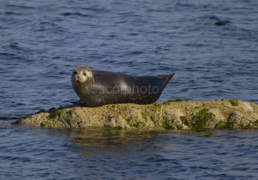 Seal Pup On Shore At Corrie Isle Of Arran