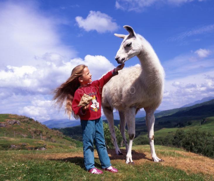 Visitor At Scottish Rare Breeds Park Feeds A Lama Argyll