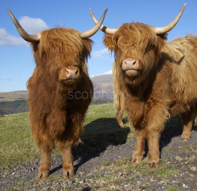 WY3Q7822 Highland Cows
