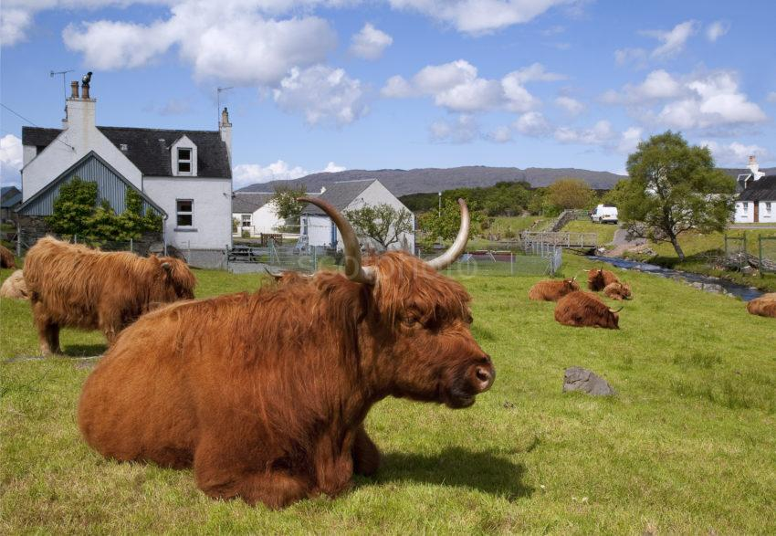 Highland Cow In Durinish Village