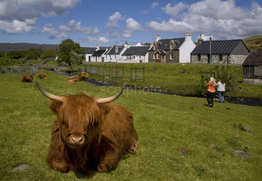 Highland Cow Durinish Village Wester Ross