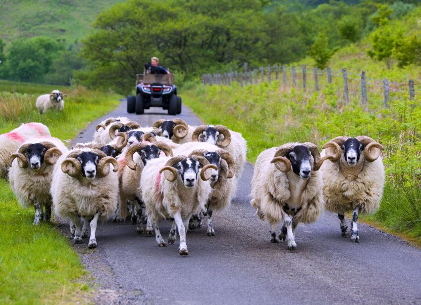 WY3Q0039 Rams On The Move Glen Scamadale