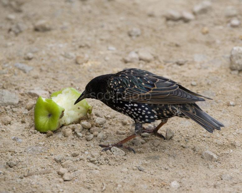 Starling Enjoys And Apple