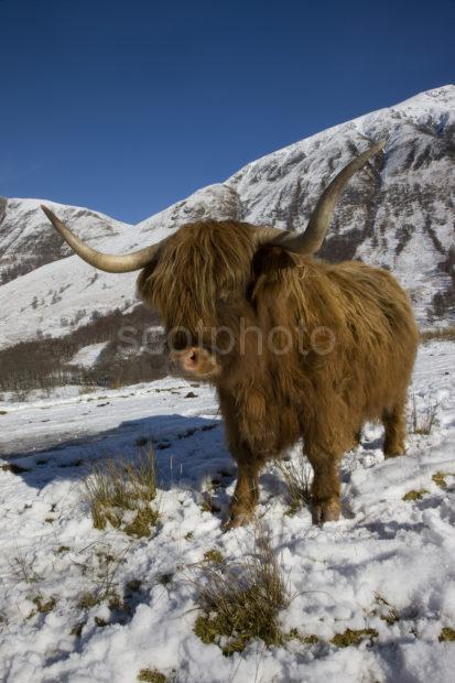 I5D3284 Highland Cow In Glen Nevis Winter In Lochaber