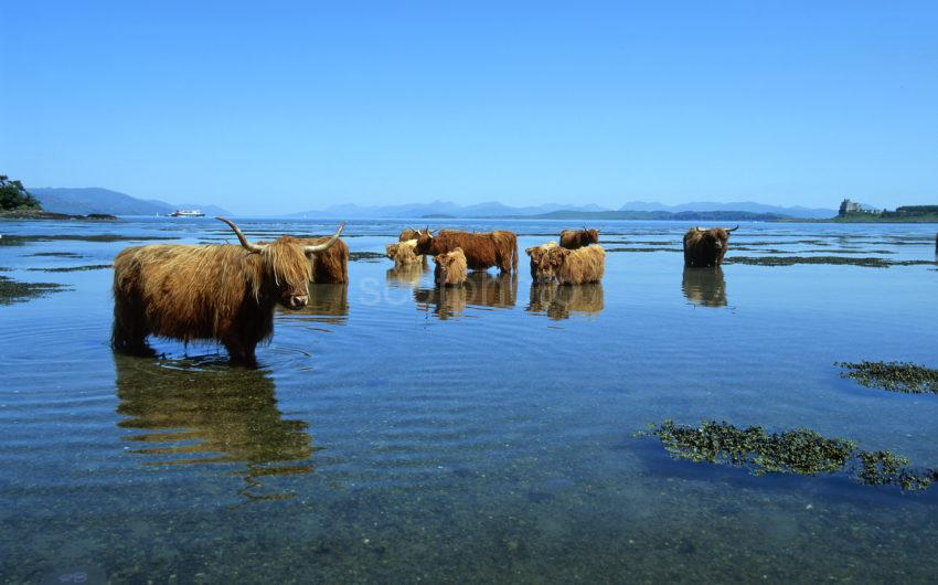 Highlands Cows Cool Off Nr Duart Castle Island Of Mull