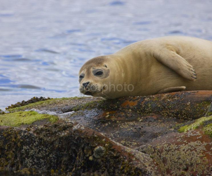 Great Shot Of Seal Pup Arran