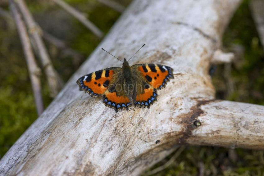 I5D9554 Small Tortoiseshell Butterfly On Old Rotting Wood