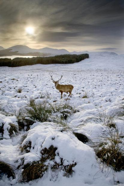 Y3Q9947 Portrait Of Stag Winters Day Nr Loch Tulla