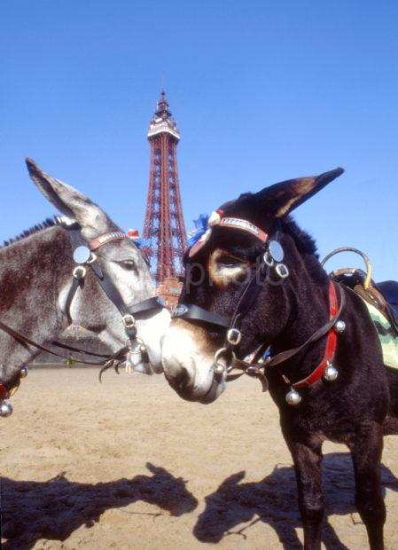 Two Donkeys With Tower