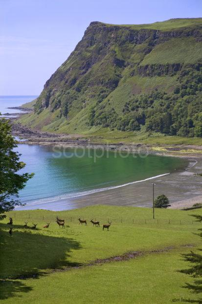 Deer Grazing Near Shore In Carsaig Bay Isle Of Mull