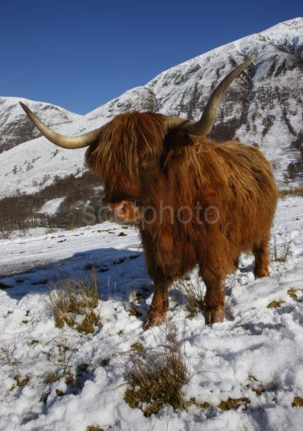 Highland Cow Winter Glen Nevis