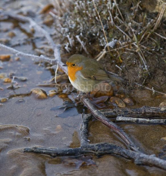 Y3Q9862 Robin On Shore Loch Sheil