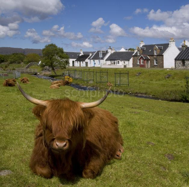 Highlands Cows In Duirnish Village