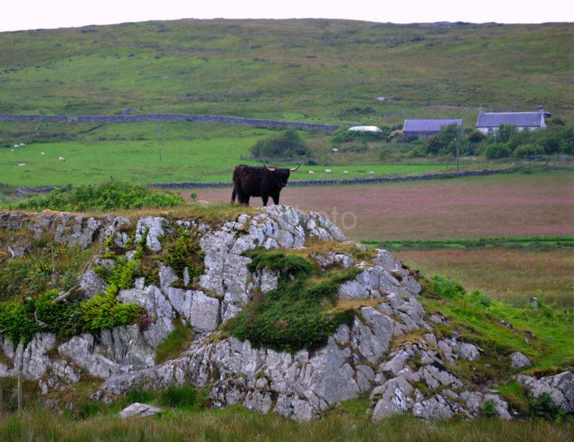 Black Highland Cow On Rocks Islay
