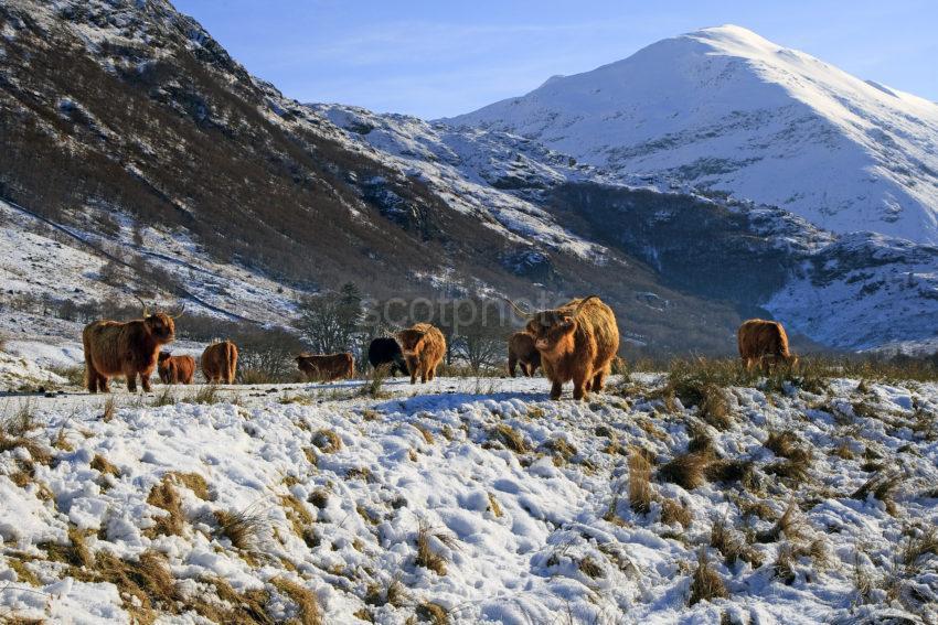 Highland Cows Winter Glen Nevis