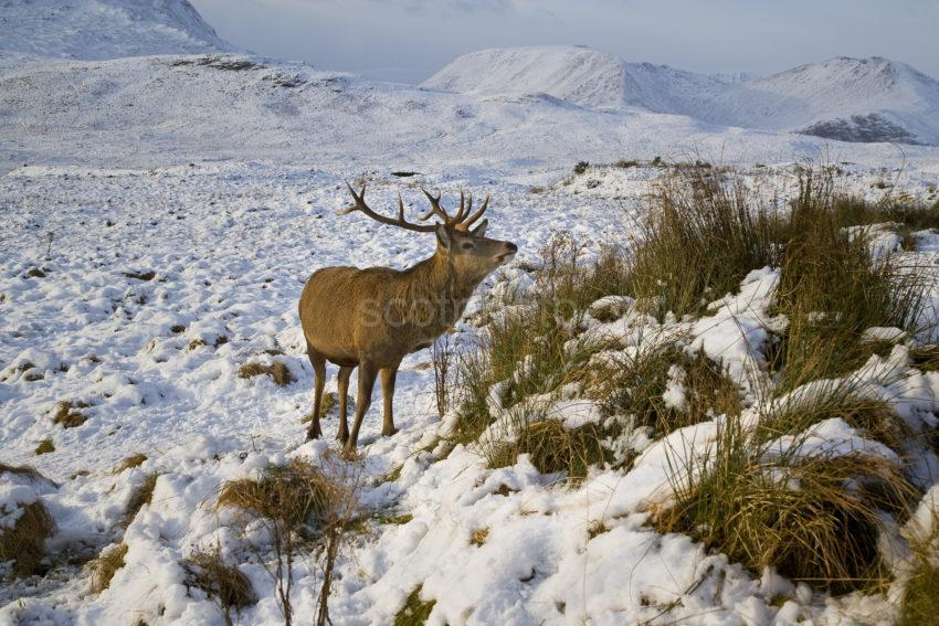 Y3Q9925 Winter View Of Stag Amongst Glencoe Hills