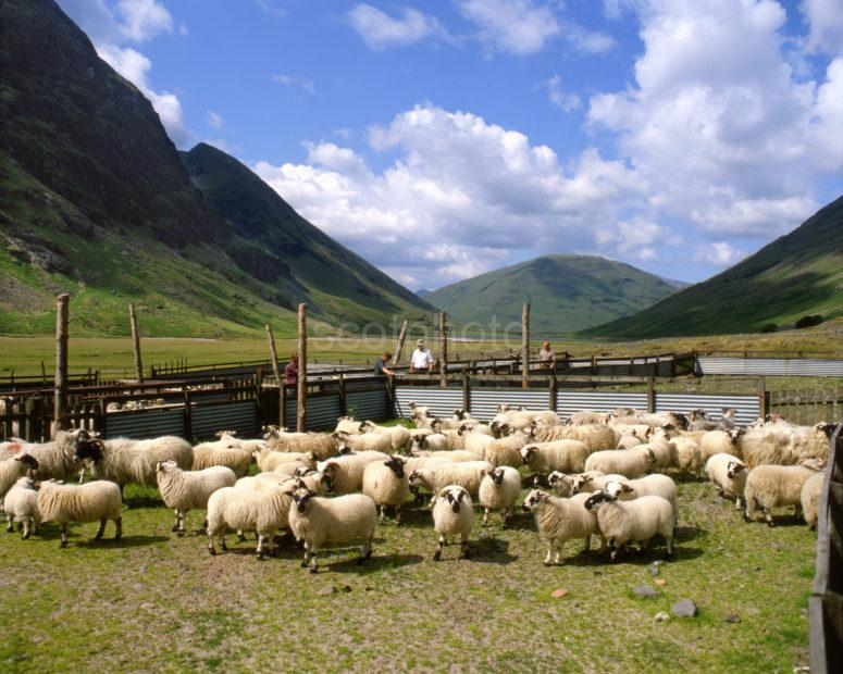 Sheep Farming In The Pass Of Glencoe West Highlands