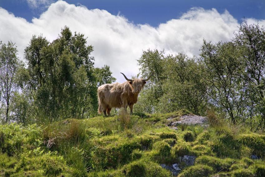 WY3Q9911 Highland Cow In Rugged Scenery Scottish Islands