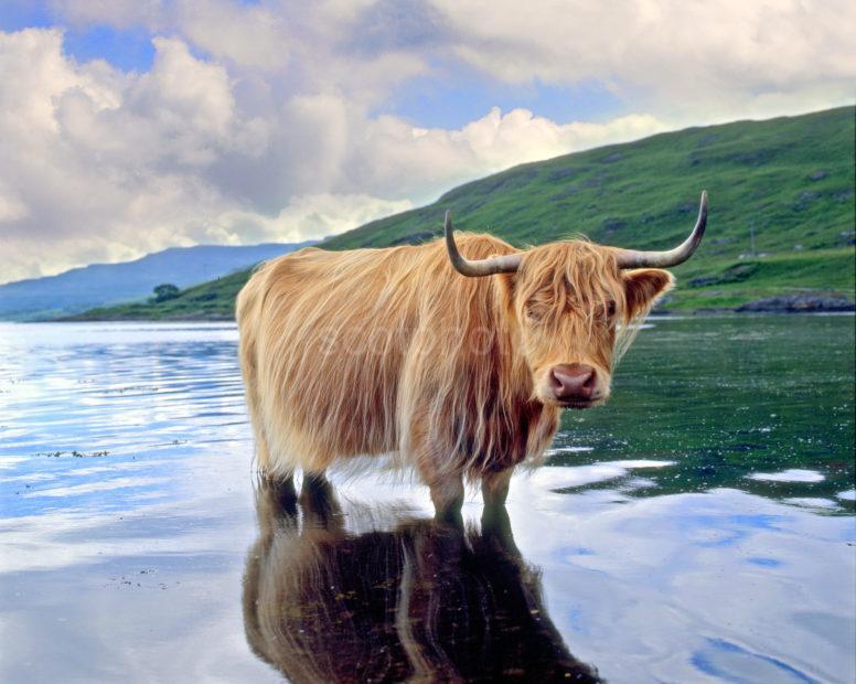 Highland Cow Loch Scridain Isle Of Mull