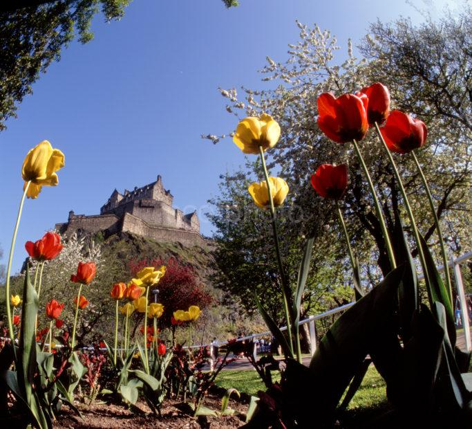 Tulips In Princes Street Gardens With Edinburgh Castle