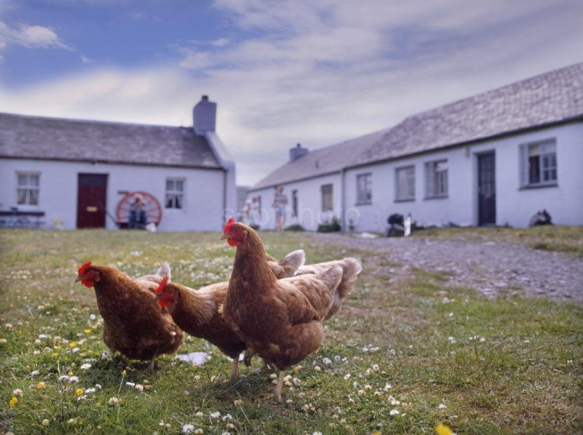 Hens Roam Around Easdale Island Village Seil Argyll