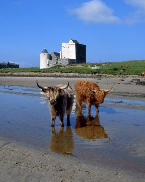 Highland Cows At Breachacha Castle Isle Of Coll