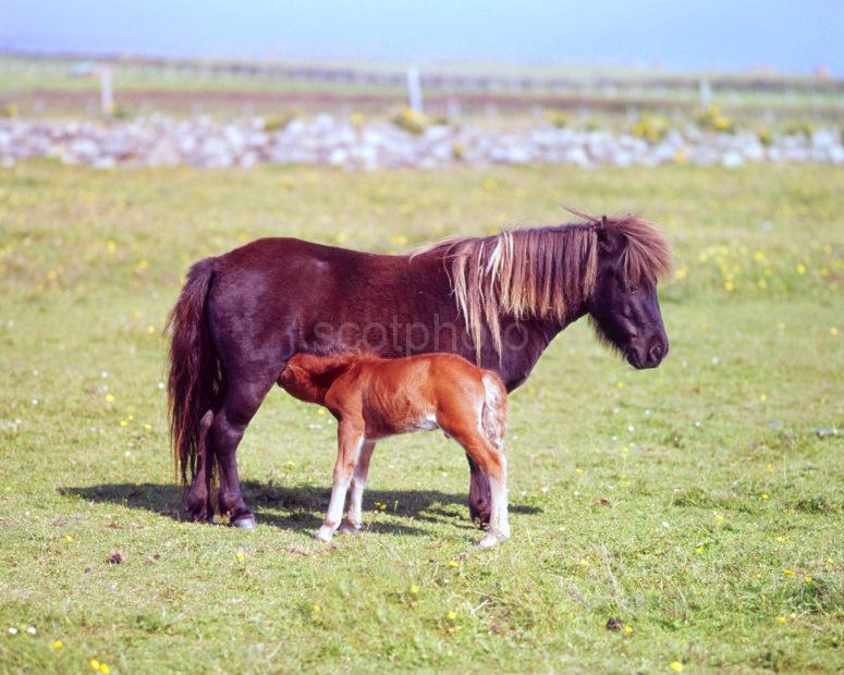Tiree Pony And Foal