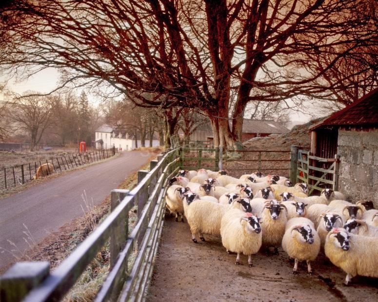 Sheep Gather In Pen In Cladich Village Loch Awe Argyll