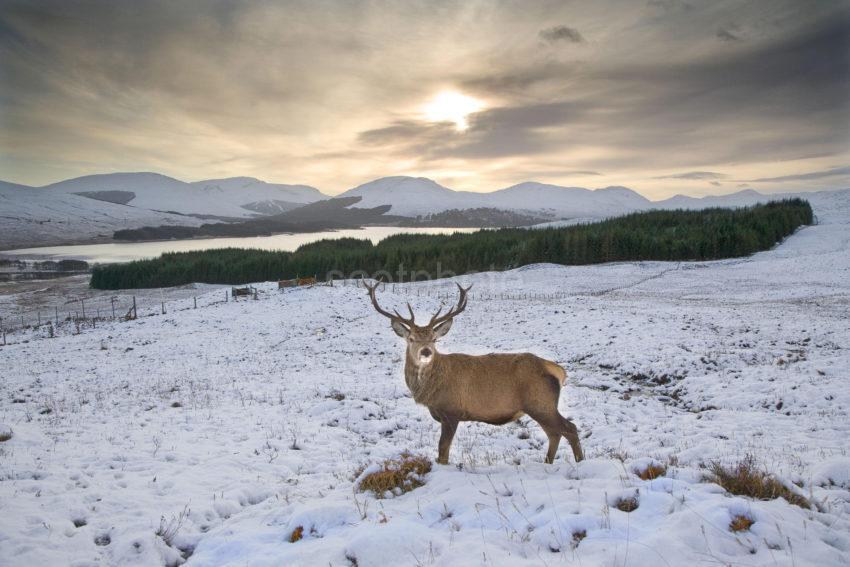 Y3Q9958 Wild Stag Near Loch Tulla West Highlands Small