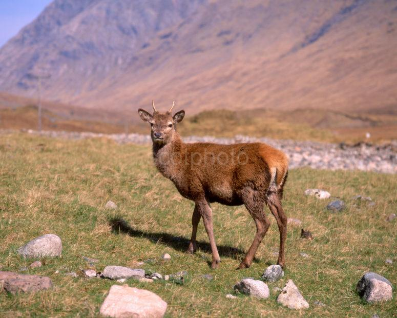 Wild Red Deer Hind In Lower Glen Etive Argyll