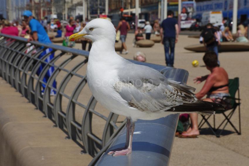 Seagull Blackpool Prom
