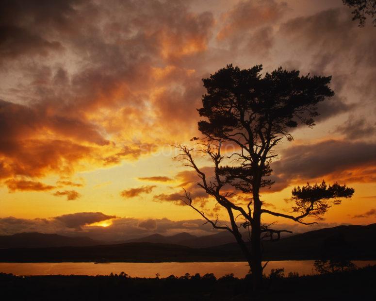 Sunset Amongst The Scots Pines Above Loch Creran Barcaldine Argyll