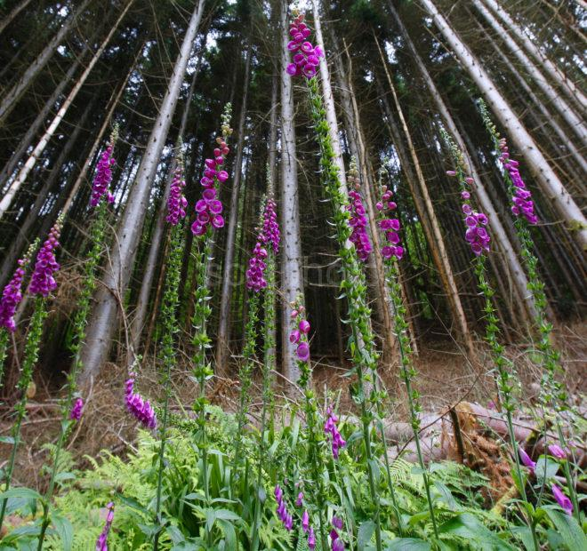 33A9754 Foxgloves In Pine Forest 2