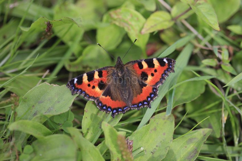 I5D9636 Small Tortoiseshell Butterfly Ground Vegetation