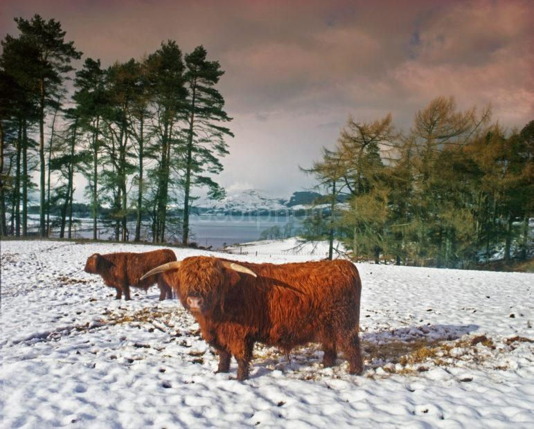 Highland Cows Winter Loch Etiveside
