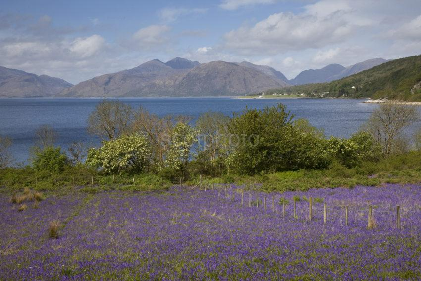 I5D4791 Bluebells On Shore At North Ballachulish With Morvern Hills