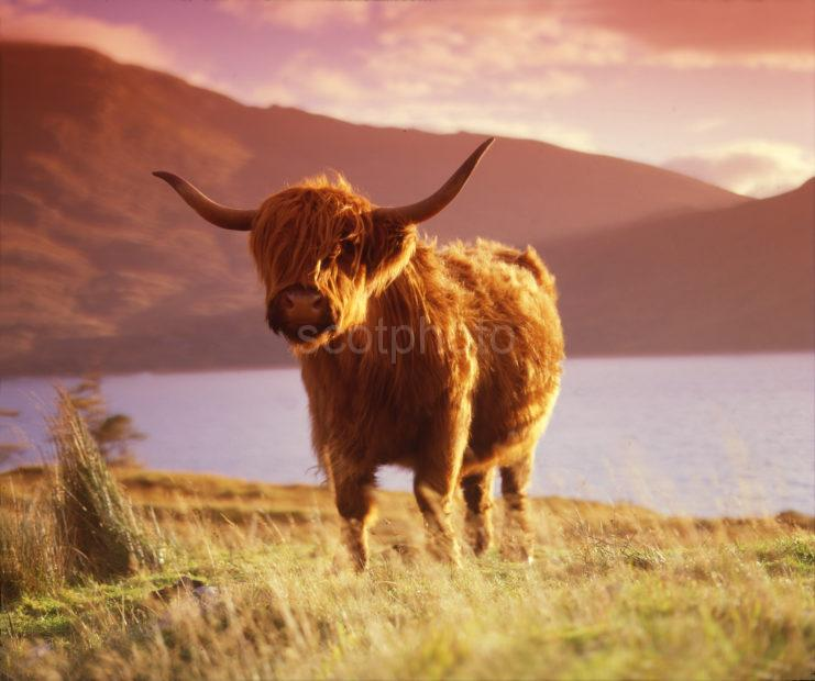 Highland Cow Loch Quoich