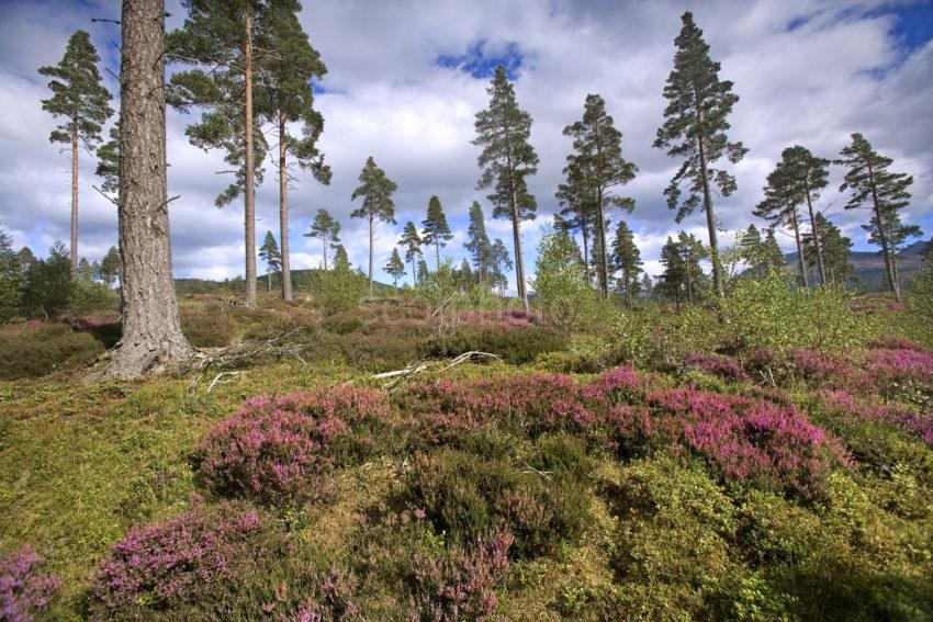 WY3Q9957 Heather And Pine Forest Deeside