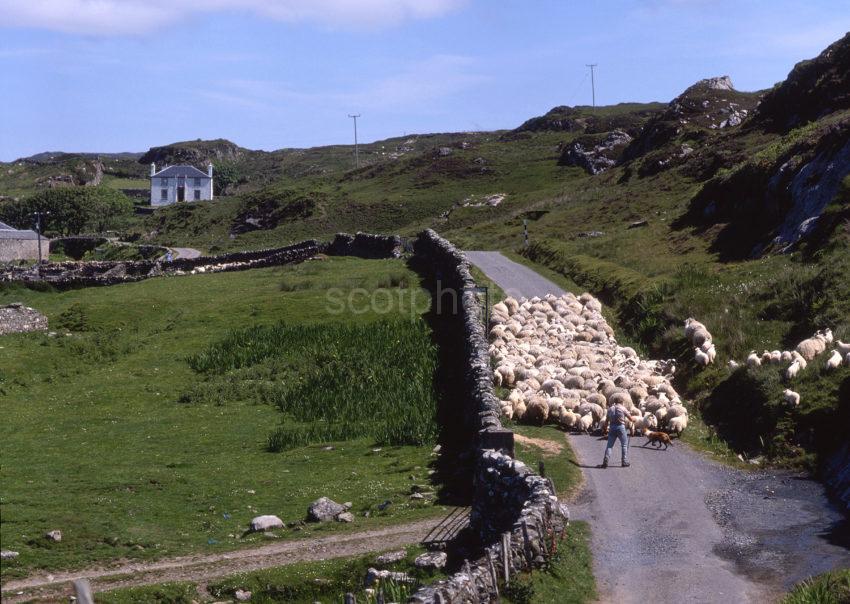Sheep Farming On The Island Of Islay Rhinns Of Islay